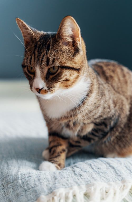 Adorable Cat Pictures Download Free Images On Unsplash In 2020 Cute Cats Tabby Cat Cat Pics