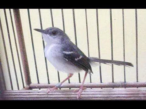 Burung Ciblek Untuk Memancing Kacer Agar Gacor Youtube Passaros Passarinho Cantando Cantando