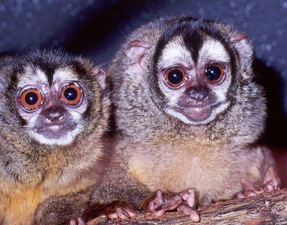 owl monkey. SOOOOO cute