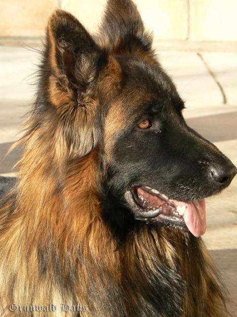 Pin By Jw On German Shepherds In 2020 German Shepherd Dogs Long Haired German Shepherd German Shepherd Photos