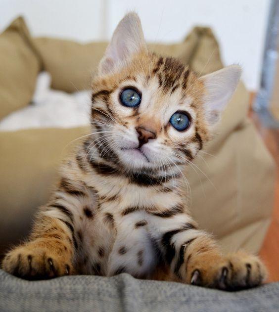 Cats Breeds Breeds Cats Bengal Kitten Cat Breeds Bengal