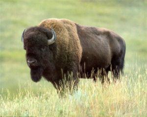 Image detail for -Kansas State Animal, American Buffalo, (Bison bison) from NETSTATE.COM