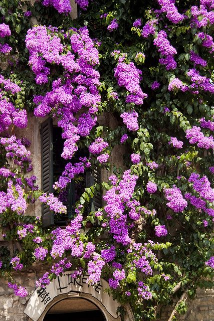 Bouganvillea in Sirmione, Lake Garda, Italy