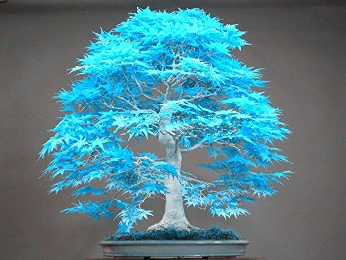 Big Sales 20pcs Blue Maple Seeds Chinese Rare Blue Bonsai Maple Tree Seeds Bonsai Plants Trees For Flower Pot Pla Bonsai Maple Tree Bonsai Tree Bonsai Seeds