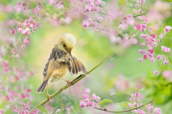 """~ Leisure Time   休閒時間 ~ 鳥類名稱 Bird Name:Golden-headed Cisticola.  黃頭扇尾鶯♂ 學名 Scientific Name: Cisticola exilis volitans. 科名 Family: 扇尾鶯科(Cisticolidae).  圖像大小 Image Size : 6000 x 4000 pixel My Flickr Page:  <a href=""""http://www.flickr.com/photos/fuyi/"""">My Flickr Page</a> My Facebook page : <a href=""""https://www.facebook.com/fuyi.chen.9"""">My Facebook page</a>"""