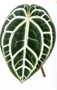 Botanical - Miscellaneous - Houseplant leaf (1)