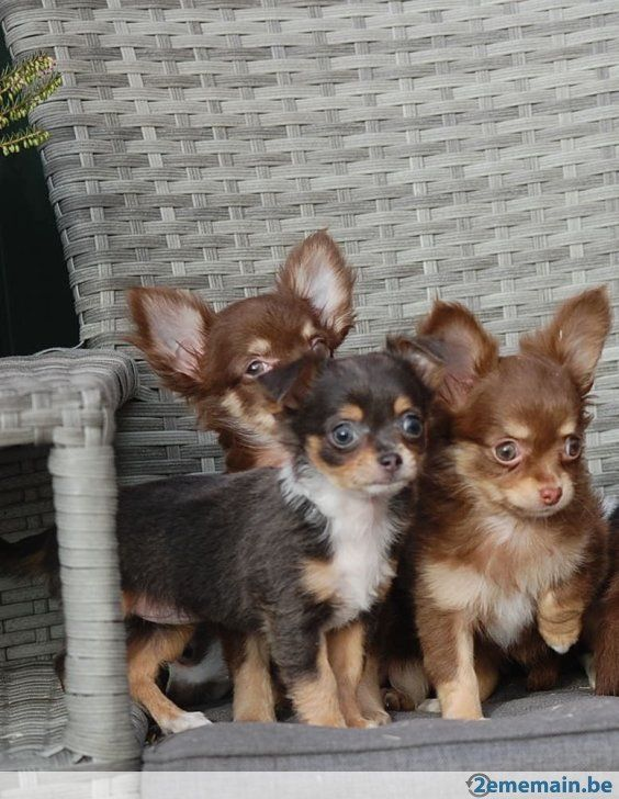 chiots chihuahua poil long 07 puppies pinterest chihuahuas et animaux. Black Bedroom Furniture Sets. Home Design Ideas