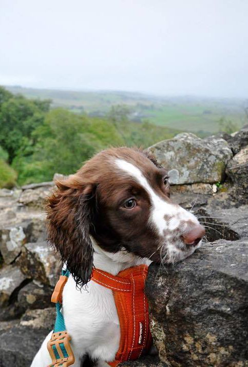 This Gorgeous Springer Spaniel Is Wyatt Pictured Here At Hadrian S Wall By Owner Ellie Jones Also Known As Theaussi Hypoallergenic Dog Food Dogs Hadrians Wall