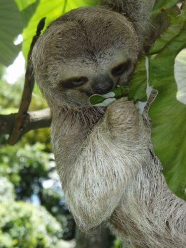 Un perezoso comiendo una hoja