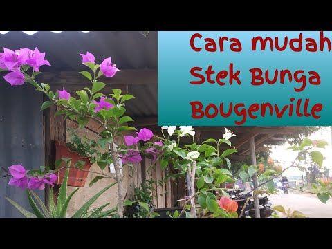 Cara Sambung Pucuk Bunga Kertas Atau Bunga Bougenville Youtube Bunga Kertas Bunga Menanam Bunga