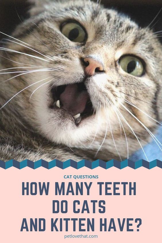 A Kitten Has 26 Milk Or Kitten Teeth As They Grow The Deciduous