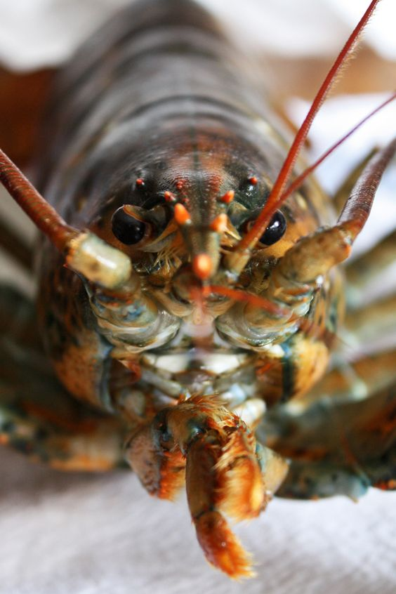 """lobster  close ups 