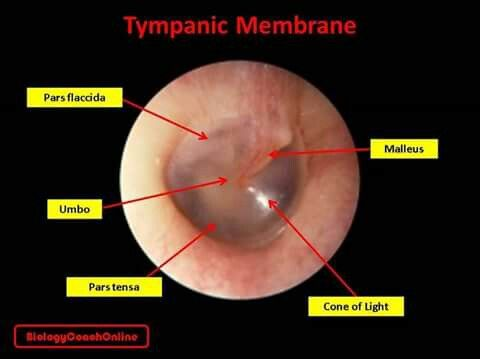 Last Week S Mysteryanatomy Structure Was The Tympanic Membrane The Tympanic Membrane Or Eardrum Is A Thin Cone Shaped Membrane Separating The Inspirar