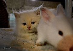 from my friend's glass eye, a pet shop kitty.