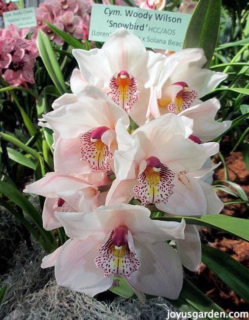 A Bounty Of Beautiful Cymbidium Orchids Cymbidium Orchids Care Orchid Flower Cymbidium Orchids