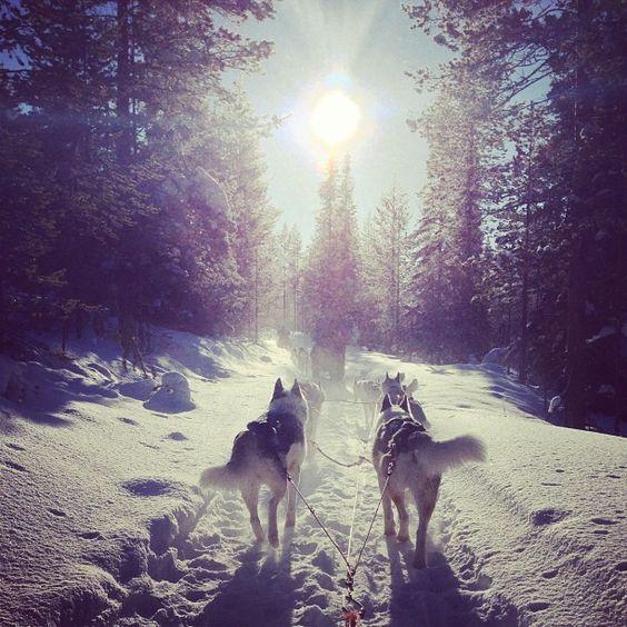 Husky, Finland, Lapland