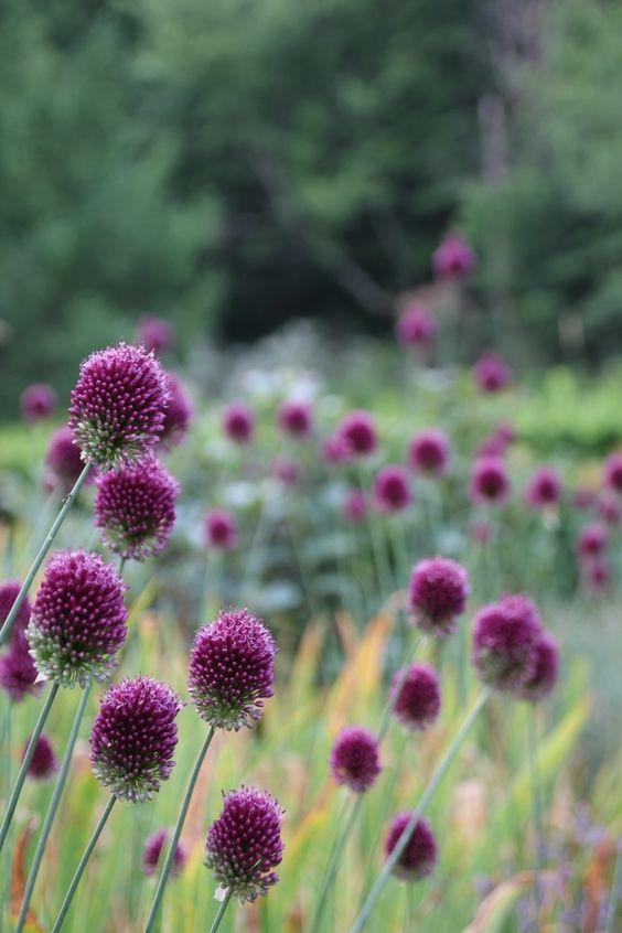 Ornamental grasses dark purple and grasses on pinterest for Dark ornamental grasses