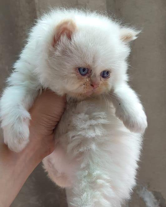 Punch Face Persian Cat : punch, persian, Instagram