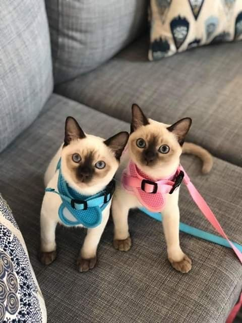 A Look At Siamese Cats Cute Cats Cute Animals Siamese Kittens