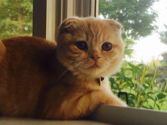 """Clancy"" Scottish Fold kitty cat 🐱"
