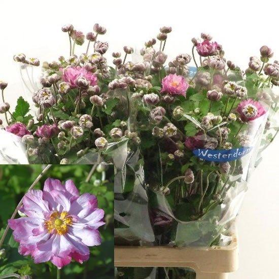 Anemone Carmen 60cm Wholesale Dutch Flowers Florist Supplies Uk Flowers Delivered Flower Delivery Florist Supplies