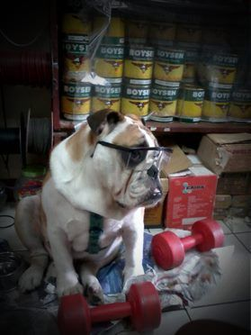 trying to look like a smart, mature and dignified bulldog