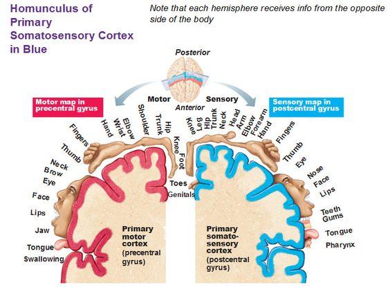 homunculus of primary somatosensory cortex in blue