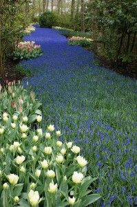 Muscari river. We're planting 900 bulbs to get this affect! Will spill down the slope to the sidewalk.
