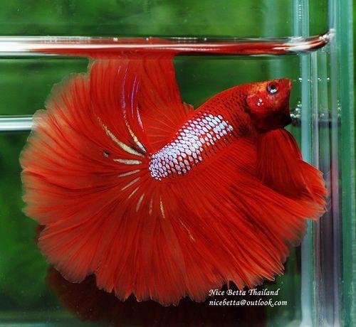 Sunshine Samurai Betta Halfmoon Betta Betta Fish