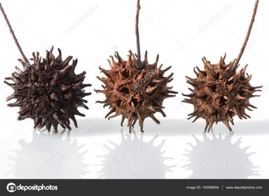 Three Sweet Gum Tree Seed Pods Seed Pods Tree Seeds Sweet Gum
