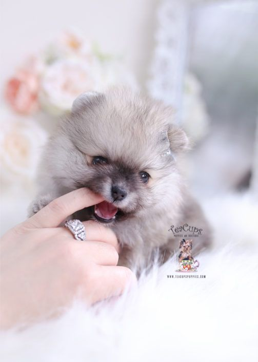 Pomeranian Puppy For Sale Teacup Puppies 249 D Cuteteacuppuppies Pomeranian Puppy For Sale Teacup Puppies Cute Teacup Puppies Teacup Puppies Pomeranian Puppy