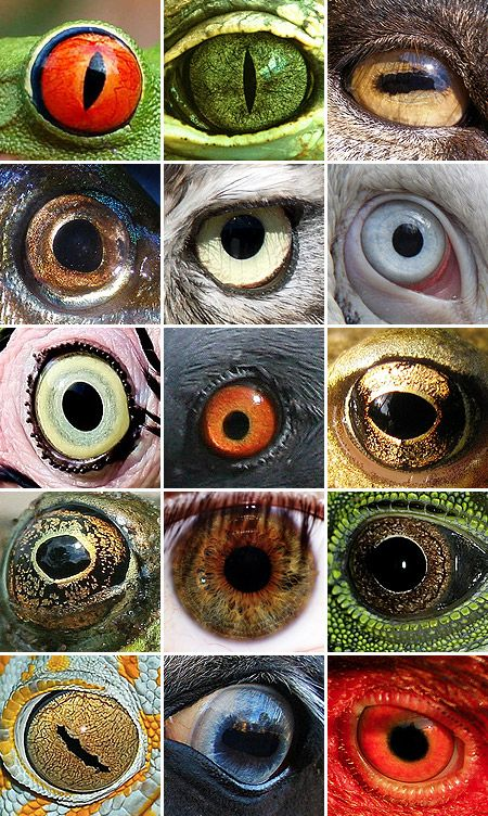 from which animal is each eye?