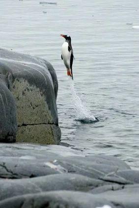 Large class penguin!