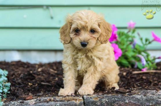Rose Cockapoo Puppy For Sale In Mifflinburg Pa Lancaster Puppies Cockapoo Puppies For Sale Cockapoo Puppies Puppies For Sale