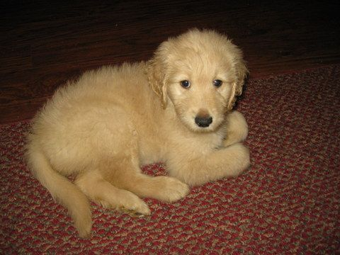 Goldendoodle Puppy For Sale In Lebanon Tn Adn 50914 On