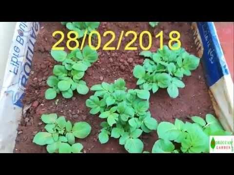 زراعة البطاطس في المنزل الجزء Potato Cultivation At Home 1 Youtube Planters
