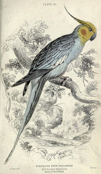 Petit: William Jardine's (English, 1800-74) Naturalist Library ~ Parrots (1836); engraved by William Lizars (Scottish, 1788-1859), Jardine's brother in law.