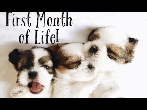 Shihtzu Puppies First Month Of Life Fluffy Shih Tzu Family Youtube In 2020 Shih Tzu Little Pets Puppies