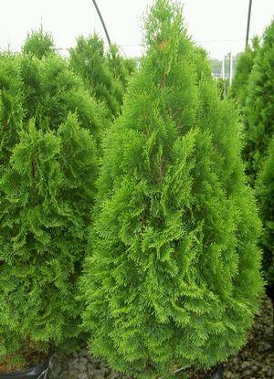Emerald Green Arborvitae Zones 4 8 Full Sun Narrow Upright Evergreen Screening For Smaller