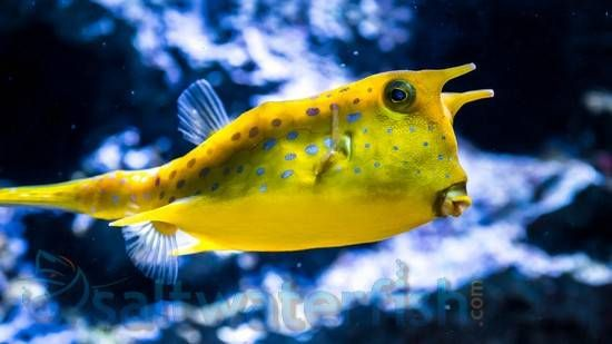 Long Horned Cowfish Baby Saltwater Fish Miscel Saltwater Crocodile Fish Pet Saltwater Tank