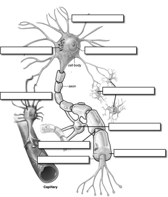 Neurons And Anatomy On Pinterest