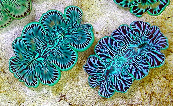 giant clams, Cook Islands