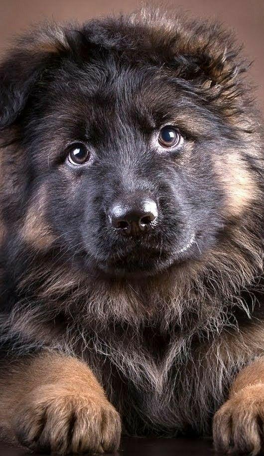 So Cute German Shepherd Dogs German Shepherd Puppies