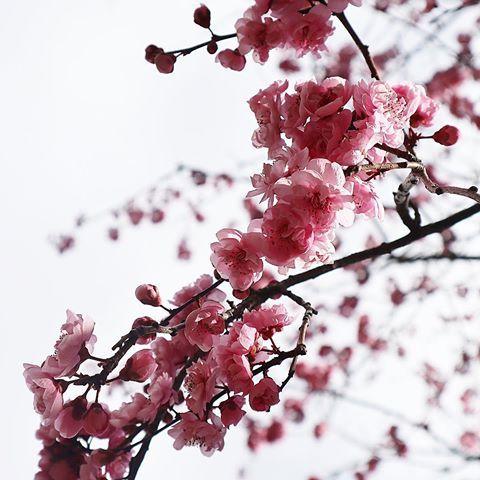 Live Gorgeous Cherry Blossom Season Australia Cherryblossom Cherry Sakura Sakurabloom Sunflare Prettyinpink C Instagram Photo Spring Flowers Instagram