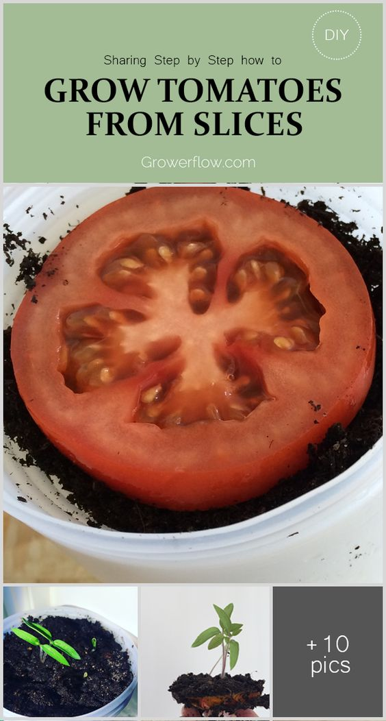 Sharing Step by Step how to Grow Tomatoes from Tomato Slices. Second season doing this. Works great!