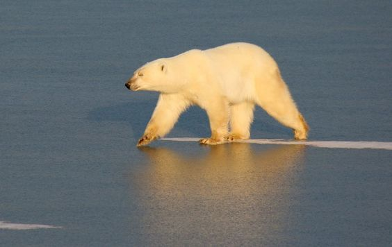 Lone Polar Bear Photo by Joe Chowaniec -- National Geographic Your Shot