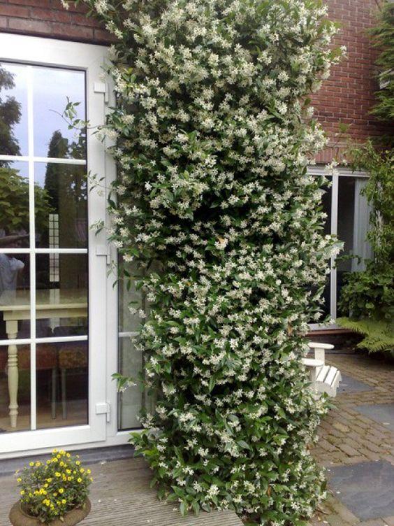 Toscaanse jasmijn, ruikt heerlijk en bloeit erg lang, en wintergroen!