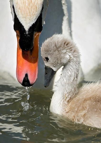 Baby en moeder zwaan