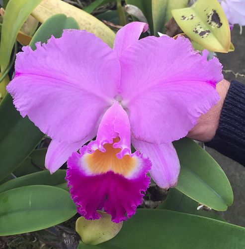 Cattleya Trianae At Orchids Ltd Plymouth Mn Cattleya Orchids Cattleya Orchid