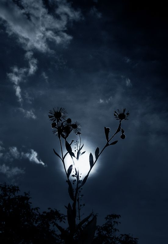 Daisies in the Moonlight